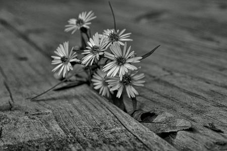 fiori di campo: Fiori di campo emergenti attraverso il legno ponte