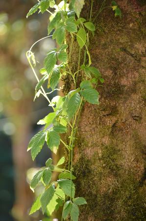 Fresh and green climber tree photo