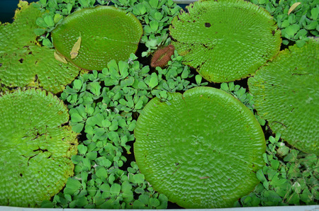 aquatic plant: Green lotus and aquatic plant in the pond Stock Photo