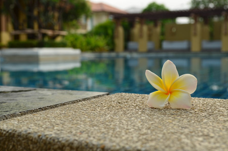 beside: White and yellow fresh Plumeria beside the pool