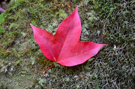 Red Maple Leaf On Green Mos Stock Photo