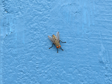 irritate: Close up of fly on blue cement wall