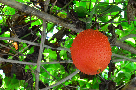 spiny: Gac fruit on the tree - healthy fruit concept
