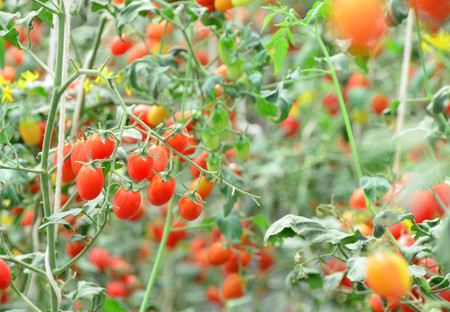 Branches of red fresh organic tomato farming in green house, agriculture and food concept, selective focus Stock fotó