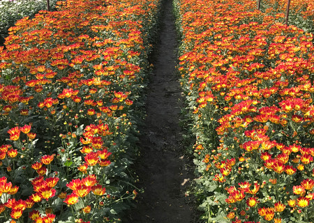 Beautiful orange and yellow blooming daisy or chrysanthemum field, background and texture, agriculture concept