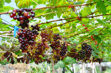 Vineyard or organic grape plantation, agriculture and food concept Stock fotó