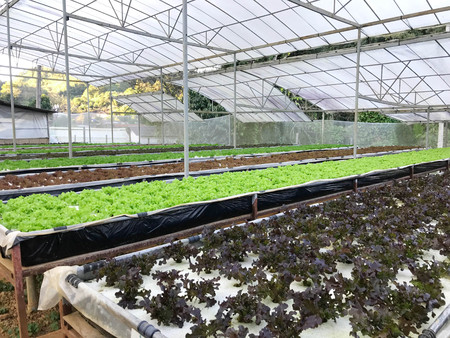 Organic hydroponic lettuce or salad vegetable plantation in greenhouse nursery