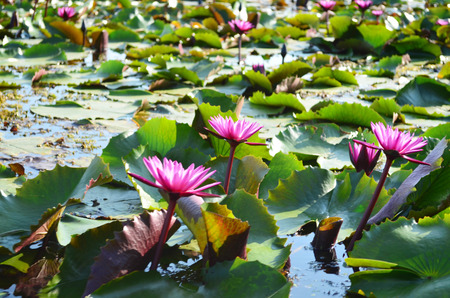 Side view of beautiful pink lotus in pond