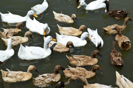 Group of beautiful white and brown ducks swim in the pond Stock fotó
