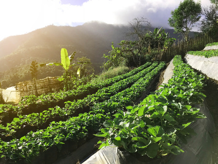 Side view of organic strawberry farm plantation on step of mountain, agriculture and food concept,  under sun light Stock fotó