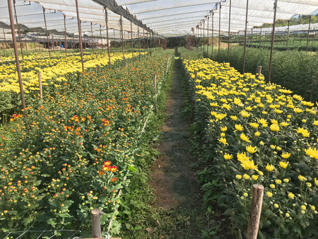 Yellow and orange  daisy or chrysanthemum filed with walk way under greenhouse nursery - agriculture concept