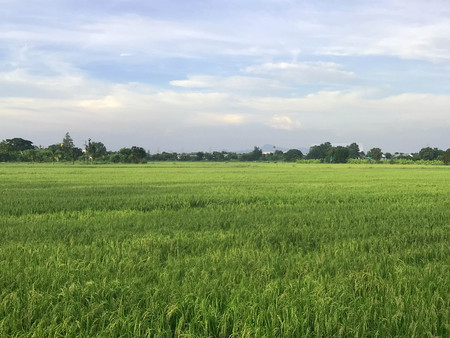 Asian rural scene - paddy field of rice with hazy sky, agriculture and landscape concept