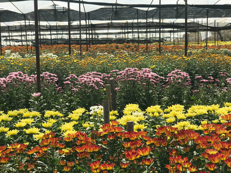 Multicolor of beautiful  daisy or chrysanthemum filed under greenhouse nursery for background and texture, agriculture concept