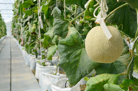 Row of Japanese melons or green melon or cantaloupe melons plantation in greenhouse supported by rope, side view Stock fotó