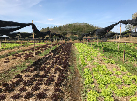 Organic red and green oak lettuce plantation in nursery, agriculture concept