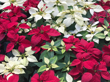Beautiful red and white Poinsettia christmas flower - top view Stock fotó