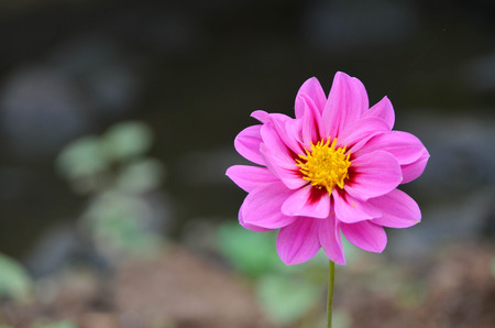 Beautiful pink dahlia over blurred background