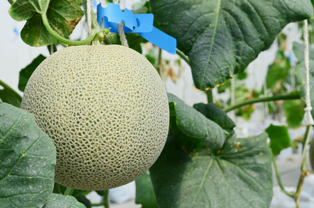 Japanese melons or green melon or cantaloupe melons plantation in greenhouse, close up view