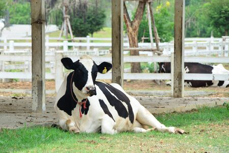Dairy black and white cow is laying down in the farm 版權商用圖片