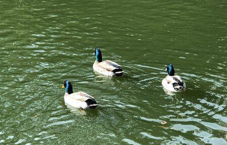 Mallard ducks  in the pond 版權商用圖片
