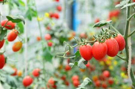 Branches of red fresh organic tomato farming in green house, agriculture, food and health concept, selective focus