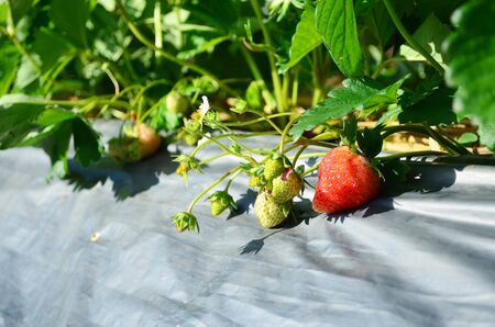 Fresh strawberry in organic strawberry farm, agriculture and food concept 版權商用圖片