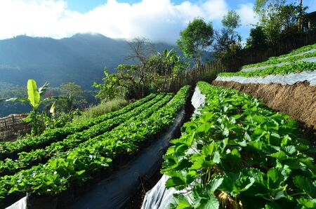 Side view of organic strawberry farm plantation on step of mountain, agriculture and food concept