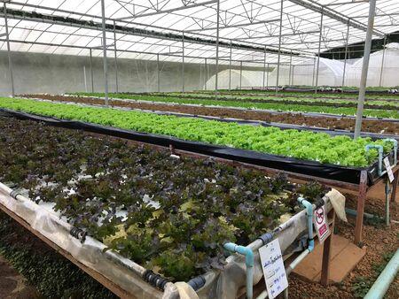 Organic hydroponic lettuce or salad vegetable plantation in greenhouse nursery