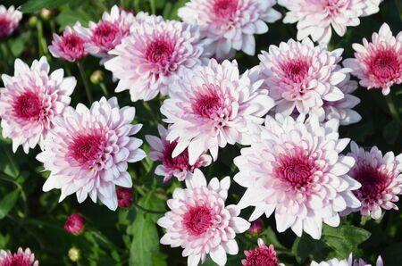 Top view of beautiful pink daisy or chrysanthemum under sun light Reklamní fotografie
