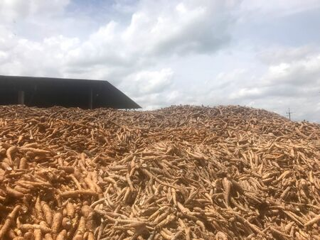 Pile of fresh cassava or tapioca root against  factory warehouse, agriculture and industrail concept