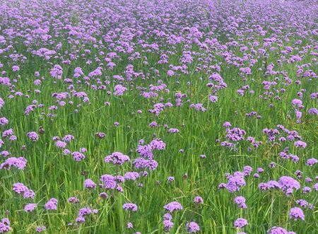 Beautiful violet Verbena field, background and texture