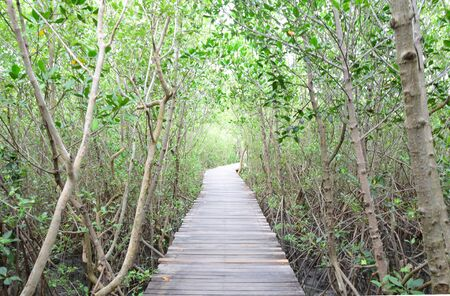 Wooden bridge walkway and tree tunnel in mangrove forest Stok Fotoğraf