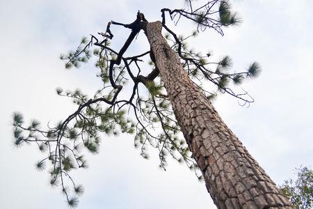 phukradueng: High pine tree. Phukradueng Loey Thailand.