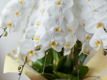 Closeup of the white Phalaenopsis Orchid.