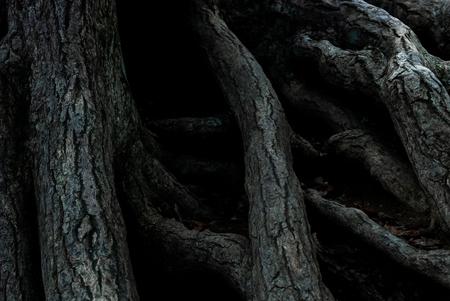 Cracked tree root