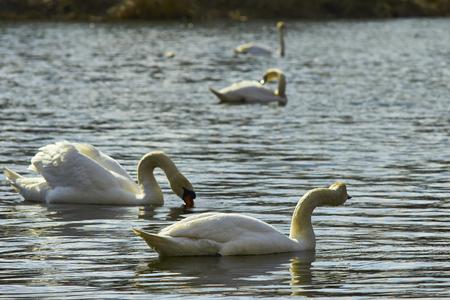 Swan floats on lake