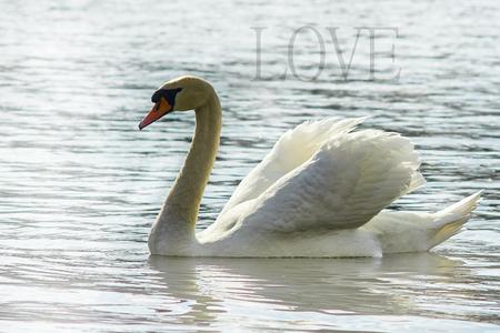 Sweet swan, symbol of love.