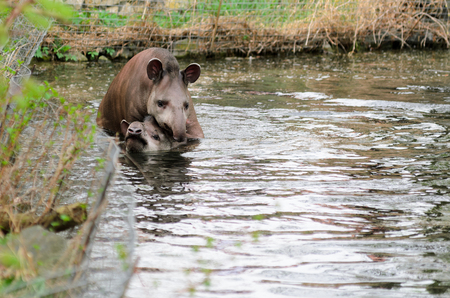Tapir anta - Tapirus terrestris in a river, with a blurred background.
