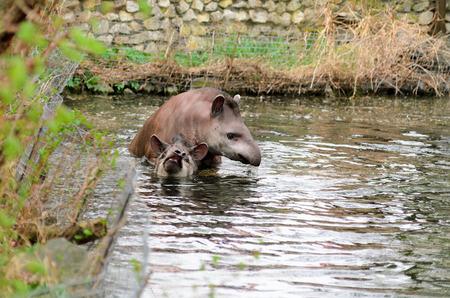 Tapir anta - Tapirus terrestris in a river, with a blurred background.
