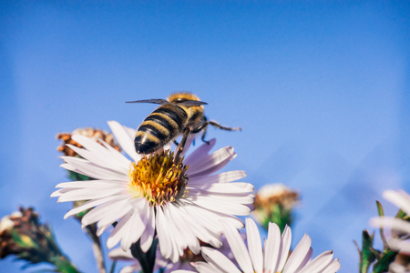 Bee pollinates flowers, macro photo Banco de Imagens