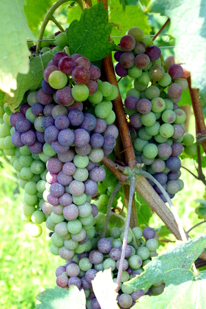 nebbiolo: grapes in the vineyard