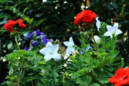 geranium color: flowers