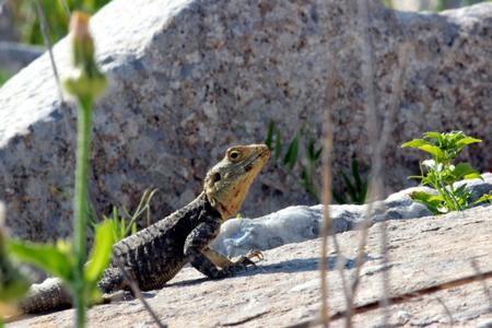 iguana: iguana Stock Photo