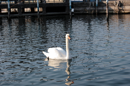 webbed feet: swan