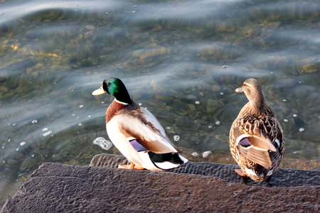 web footed: wild duck