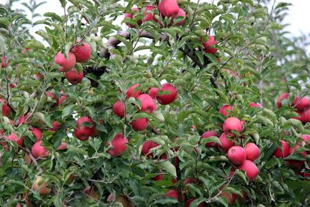 rennet: apple tree Stock Photo