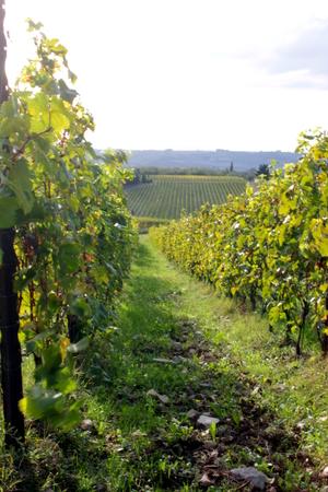 nebbiolo: vineyard Stock Photo