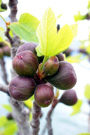 black fig tree