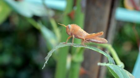 grasshopper Banque d'images