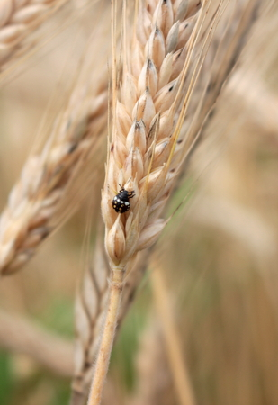grain field Stockfoto - 117646834